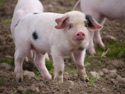 Интересует свинина